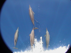 Watching dolphins surfing the bow wave