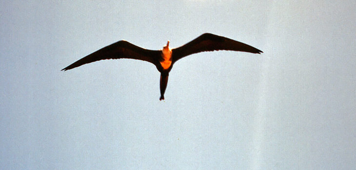 Frigate bird flying over Galapagos